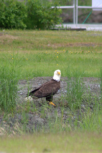 Bald eagle at the campground