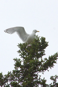 I-don't-know Gull (maybe glaucus-winged gull?)