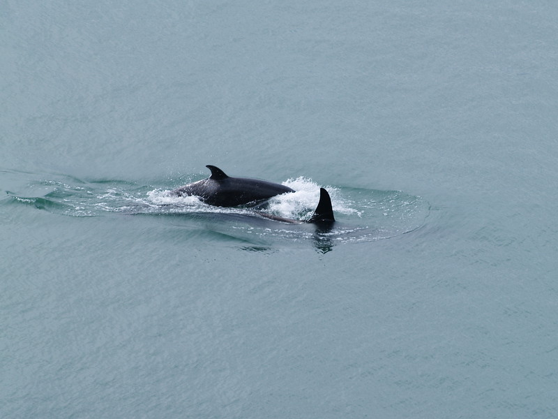 Orca female and juvenile