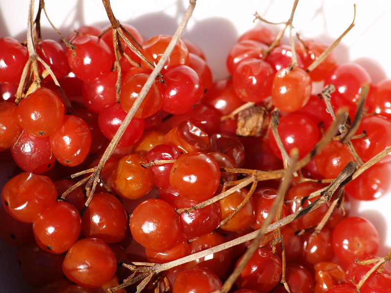 High-bush cranberries