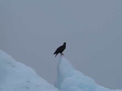 Juvenile eagle on an iceberg just inside the Tracy Arm bar