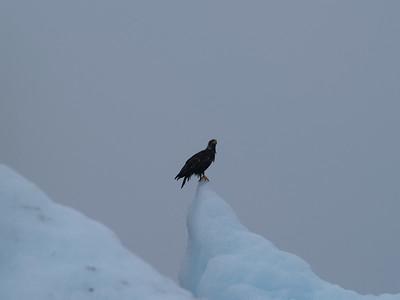 Juvenile eagle on an iceberg just inside the Tracy Arm bar