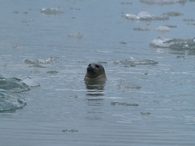 Harbor seal checking our boat out.