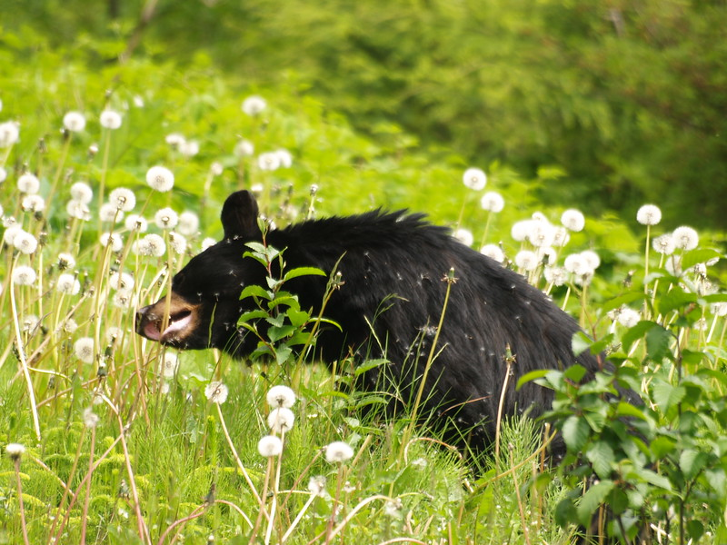 Black bear munching on dandelions out the road between Pt. Louisa and Lena Cove