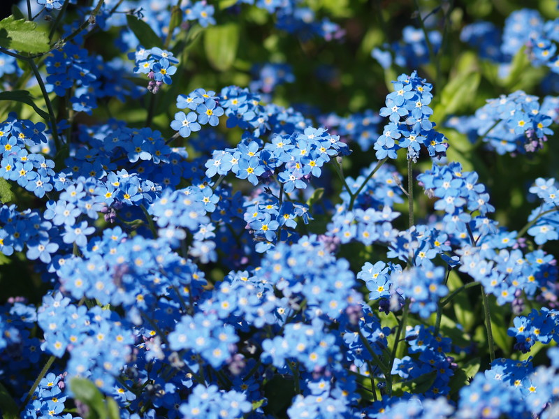 Forget-Me-Not - Alaska state flower
