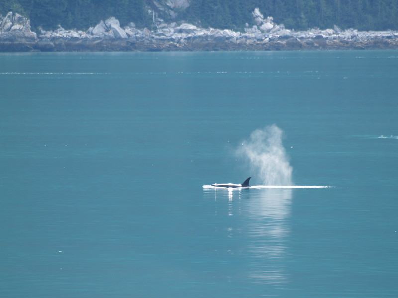 Male orca - Chilkoot Inlet on the way to Skagway