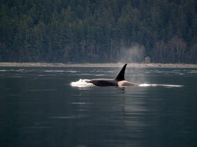Male orca - Saginaw Channel