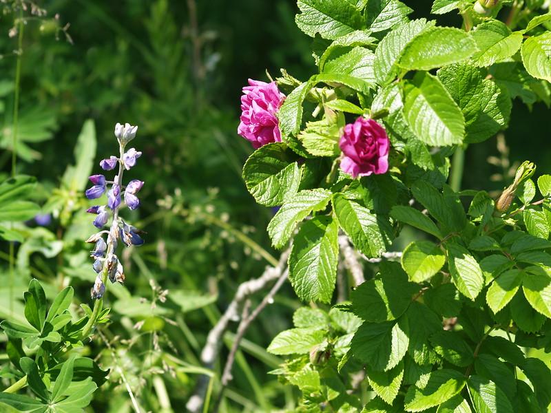 Sitka rose