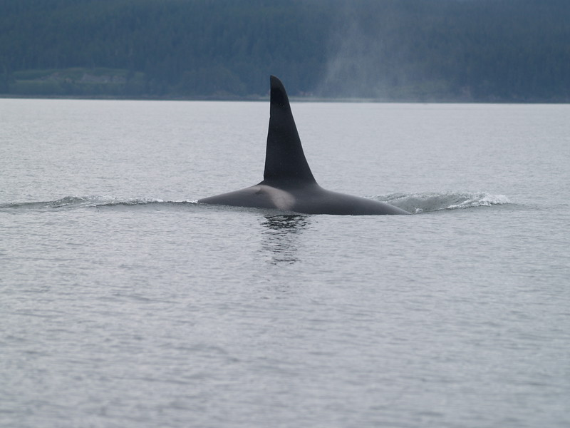 Male orca - AF 5