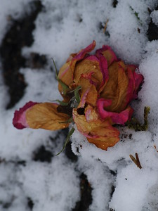 Little roses left for St. Therese