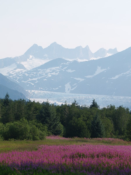 Field of fireweed with Mendenhall Glacier in the background