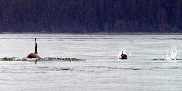 Resident orcas are fish-eaters. This small group of Dall's porpoise slowed to join a resident orca pod for 45 minutes from Saginaw Channel into North Pass and they parted company in Favorite Channel.