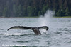 Humpback Whale lifting its fluke as is submerges in the waters of Lynn Canal, Southeast Alaska.<br /> <br /> July 03, 2014