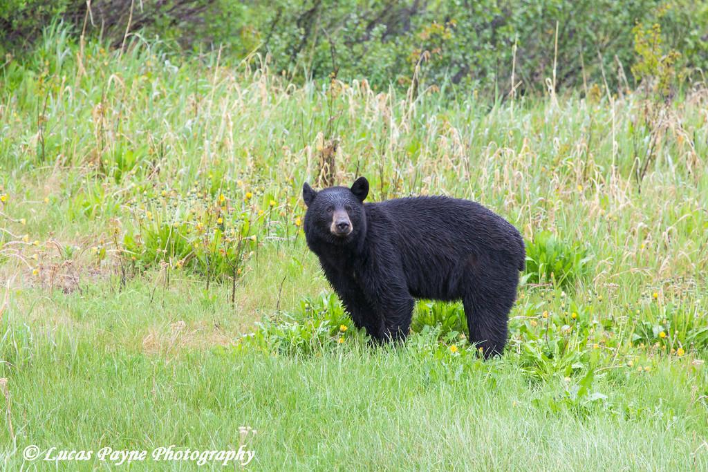 Black Bear standing along the Haines Highway, Southeast Alaska.<br /> <br /> July 04, 2014