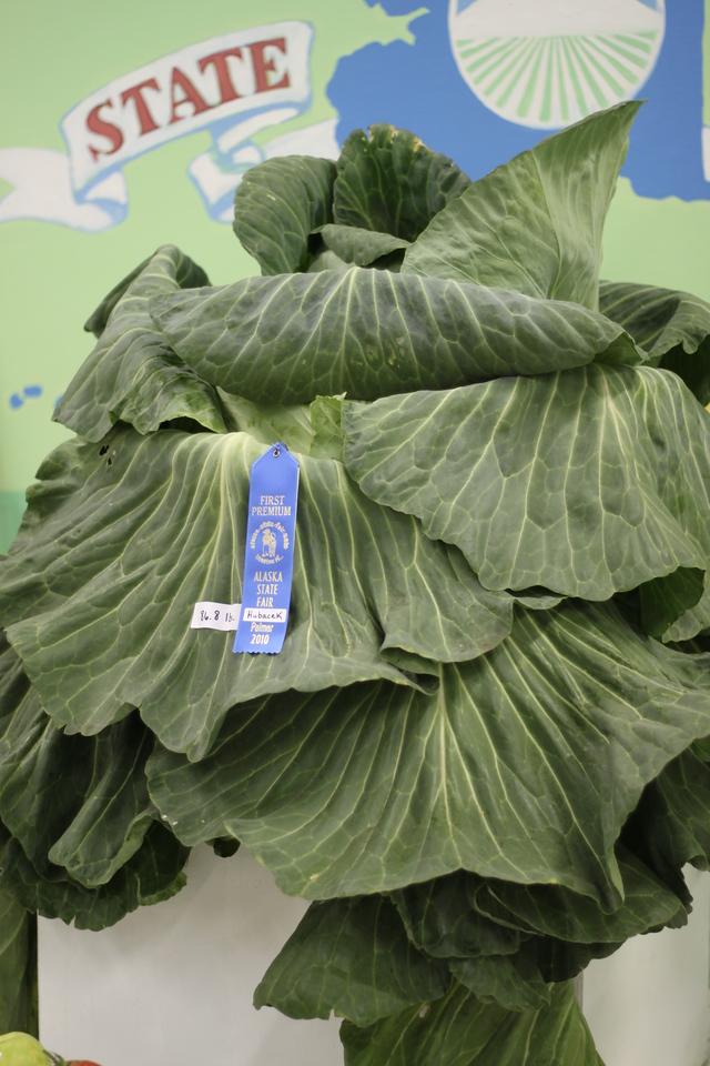 86.8lb Cabbage