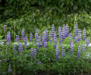 Road side Lupine