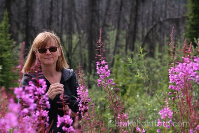 Fireweed along the Taylor Highway