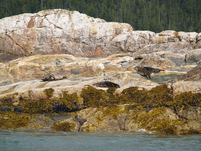 seals sunning themselves in Misty Fjords National Monument, Alaska