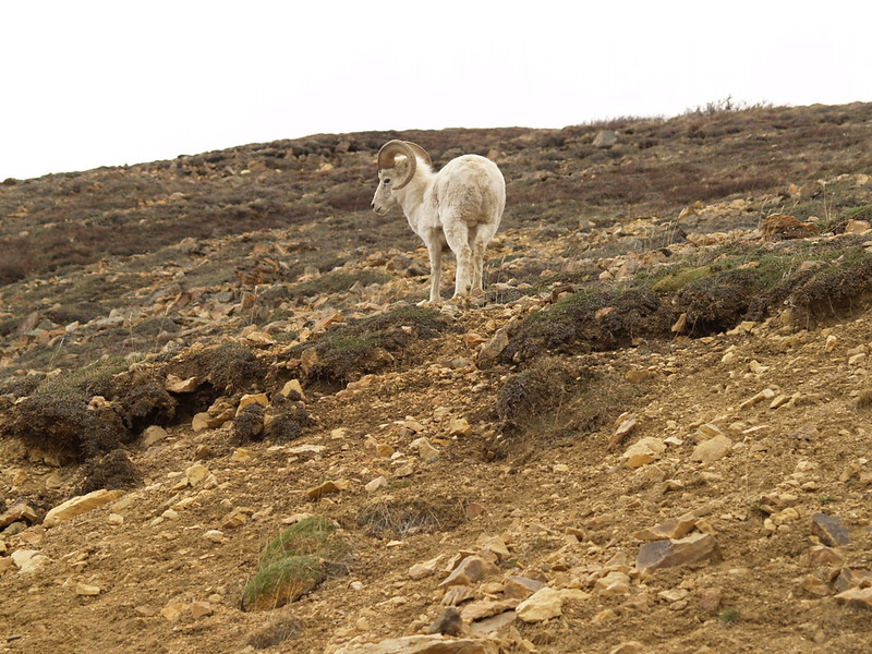 Sure-footed Dall sheep, Denali National Park, May 2007.