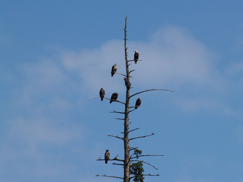 More eagles at Herring Cove (2009).