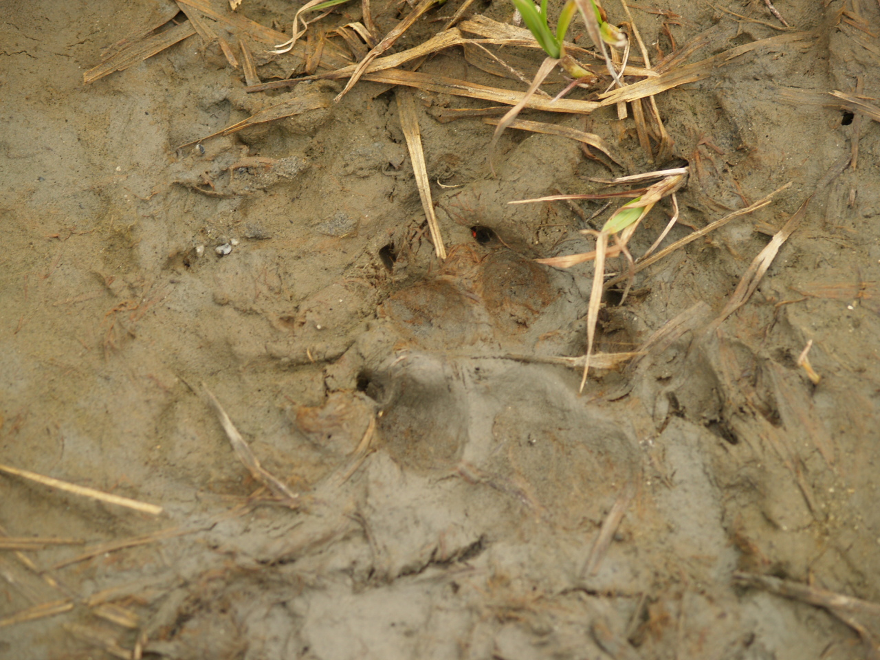 Wolf print and rabbit tracks (2007).