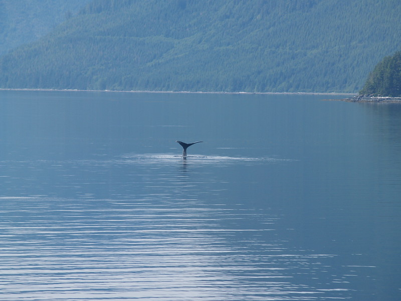 """Whales! This whale showed his fluke and waved """"buh-bye"""" before slipping gracefully into the waters between Salisbury Sound and Chatham Strait (2009)."""
