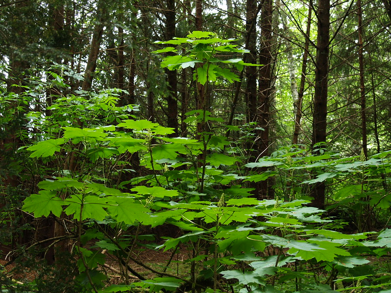 This is devil's club. A tall bush like this one on the side of the gravel walkway at Sitka Historical National Park has wicked thorns. They will tear at clothing and skin, leaving nasty gashes. Ironically, a healing salve is made out of this spiny plant to cure the scraps. (July 2009)