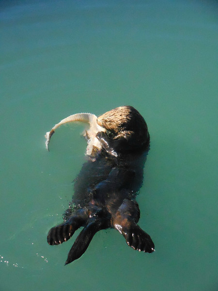 AK-2016-0649a Sea Otter in Seward Harbor