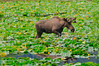 AK-2016-0633a moose in Snow River marsh