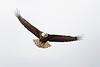 Bald Eagle in flight ~ Valdez, Alaska