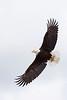 Bald Eagle in flight with fish in talons, Valdez, Alaska