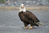 Bald Eagle staring ~ Valdez, Alaska