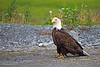 Bald Eagle ~ Valdez, Alaska