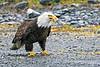 Bald Eagle with fish ~ Valdez, Alaska