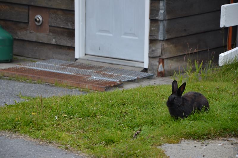 Conill Negre - Conejo Negro - Black Rabbit
