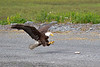 Bald Eagle with reaching for fish with talons spread, Valdez, Alaska