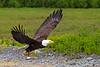 Bald Eagle taking off with fish in talons, ~ Valdez, Alaska