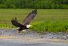 Bald Eagle with fish in talons, Valdez, Alaska