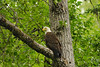 One of many bald eagles along the Russian River. The eagles prefer to perch in the balsam poplar trees.