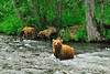 A family of brown bears searching for salmon joined us on the upper Russian River.