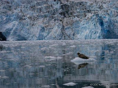 Harbor Seal in front of Surprise Glacier