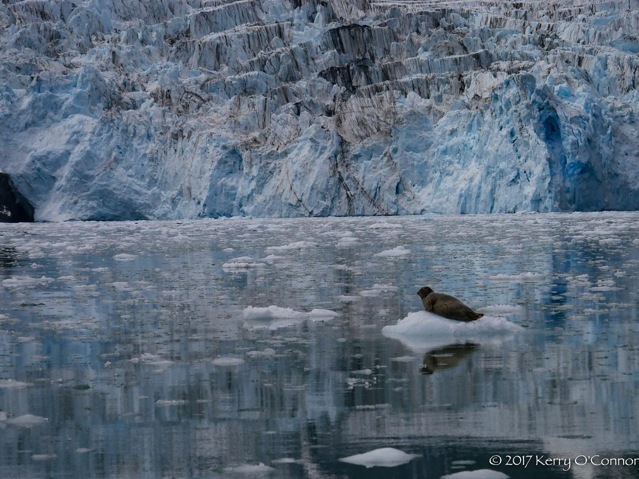 Harbor Seal in front of Surprise Glacier