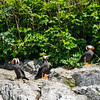 Tufted Puffin Trio