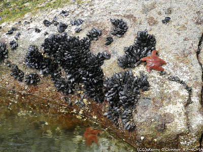 Starfish and mussels - Prince William Sound