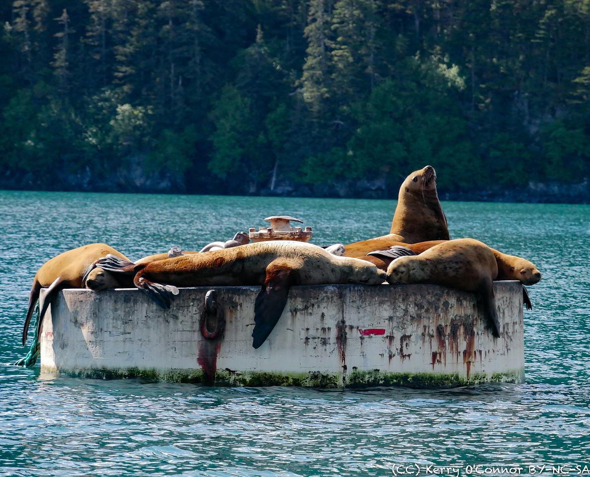 Sunning Sea Lions