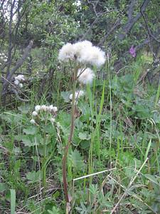 Alaska Cottongrass