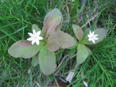 Starflower