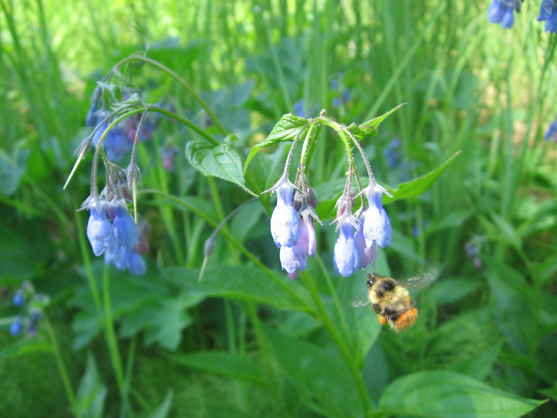 Bluebells w/ Bumble Bee