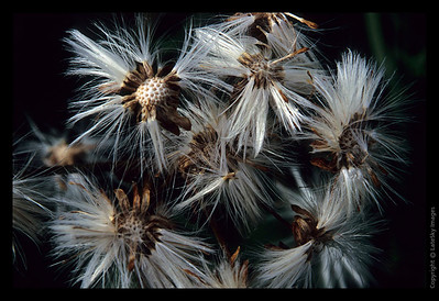 P12 Withering Dandilions