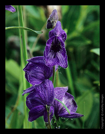 P18 Monkshood